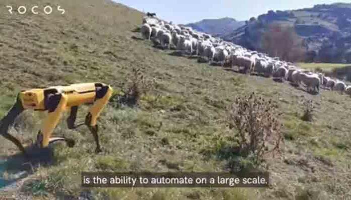 Usan perros robots como pastores de ovejas